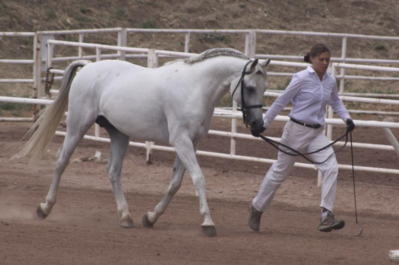 Sport Horse In Hand Region 8 Arabian Stallion Jassas First Place